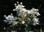 Brombeere 'Wilsons Frühe', 40-60 cm, Rubus fruticosus 'Wilsons Frühe', Containerware