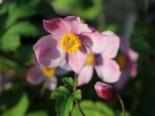 China-Herbst-Anemone 'Praecox', Anemone hupehensis 'Praecox', Topfware