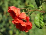 Chinesische Zierquitte Proven Winners ® 'Double Take Orange', 40-60 cm, Chaenomeles speciosa Proven Winners ® 'Double Take 'Orange', Containerware
