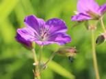 Clarkes Storchschnabel 'Kashmir Purple', Geranium clarkei 'Kashmir Purple', Topfware