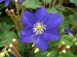 Clematis 'Kingfisher' TM Evipo 037 (N), 60-100 cm, Containerware