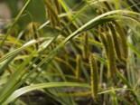 Cyperngras-Segge, Carex pseudocyperus, Topfware
