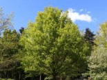 Deutsche Eiche / Stiel-Eiche, 80-100 cm, Quercus robur, Wurzelware