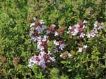 Echter Thymian, Quendel, Thymus vulgaris, Topfware