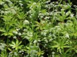 Echter Waldmeister, Galium odoratum, Topfware