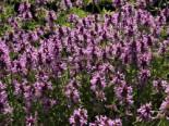 Echter Ziest / Heilender Ziest, Stachys officinalis, Topfware