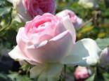 Edelrose 'Biedermeier Garden', Rosa 'Biedermeier Garden', Wurzelware