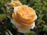 Edelrose 'Candlelight' ®, Rosa 'Candlelight' ®, Wurzelware