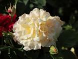 Edelrose 'Comtessa', Rosa 'Comtessa', Wurzelware