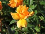 Edelrose 'Kupferkönigin' ®, Rosa 'Kupferkönigin' ®, Wurzelware