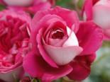 Nostalgie®-Edelrose 'Maxim' ®, Rosa 'Maxim' ® ADR-Rose, Wurzelware