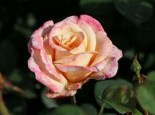Edelrose 'Oh Happy Day' ®, Rosa 'Oh Happy Day' ® ADR-Rose, Wurzelware