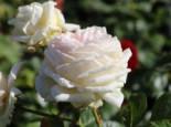 Edelrose Parfuma ® 'Madame Anisette' ®, Rosa Parfuma ® 'Madame Anisette' ® ADR-Rose, Containerware