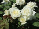 Edelrose 'Polarstern' ®, Rosa 'Polarstern' ®, Wurzelware