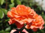 Edelrose 'Tea Time' ®, Rosa 'Tea Time' ®, Containerware