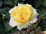 Edelrose 'Winter Sun' ®, Rosa 'Winter Sun' ®, Wurzelware