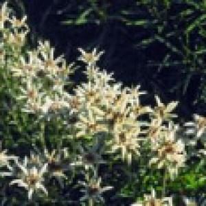 Edelweiß 'Alpine White', Leontopodium souliei 'Alpine White', Topfware