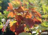 Eichenblättrige Hortensie, 40-60 cm, Hydrangea quercifolia, Containerware