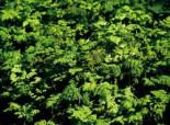 Eichenfarn 'Plumosum', Gymnocarpium dryopteris 'Plumosum', Topfware