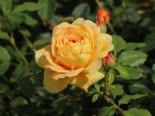 Englische Rose 'Golden Celebration', Rosa 'Golden Celebration', Wurzelware