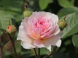 Englische Rose 'James Galway', Rosa 'James Galway', Wurzelware