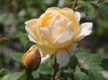 Englische Rose 'Jude The Obscure' ®, Rosa 'Jude The Obscure' ®, Wurzelware