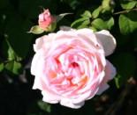 Englische Rose 'Sharifa Asma' ®, Rosa 'Sharifa Asma' ®, Wurzelware