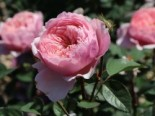 Englische Rose 'The Alnwick ® Rose', Rosa 'The Alnwick ® Rose', Containerware