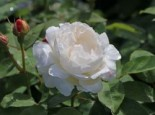 Englische Rose 'Winchester Cathedral' ®, Rosa 'Winchester Cathedral' ®, Containerware