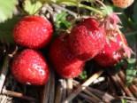 Erdbeere 'Elsanta' ®, Fragaria 'Elsanta' ®, Wurzelware