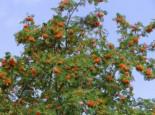 Essbare Vogelbeere / Eberesche 'Edulis', 80-100 cm, Sorbus aucuparia 'Edulis', Containerware