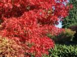 Fächer-Ahorn 'Kamagata', 25-30 cm, Acer palmatum 'Kamagata', Containerware