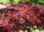 Fächer-Ahorn 'Trompenburg', 40-60 cm, Acer palmatum 'Trompenburg', Containerware