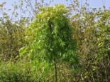 Fächerahorn 'Ryusen', Stamm 80 cm, Acer palmatum 'Ryusen', Stämmchen