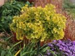 Fächerblattbaum / Ginkgobaum 'Mariken', Stamm 50-60 cm, Ginkgo biloba 'Mariken', Stämmchen
