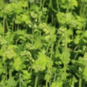 Falsche Alraunwurzel, Tellima grandiflora, Topfware