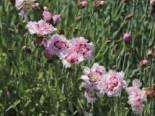Feder-Nelke 'Ine', Dianthus plumarius 'Ine', Topfware