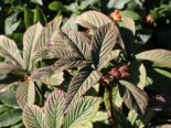 Fiederblättriges Schaublatt 'Chocolate Wings' ®, Rodgersia pinnata 'Chocolate Wings' ®, Topfware