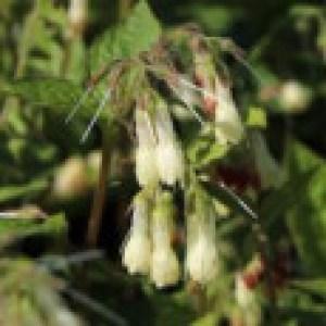 Flacher Kaukasus Beinwell, Symphytum grandiflorum, Topfware
