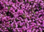 Frühblühender Thymian 'Red Carpet', Thymus praecox 'Red Carpet', Containerware