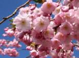 Frühlingskirsche / Frühe Zierkirsche 'Accolade', 80-100 cm, Prunus 'Accolade', Containerware