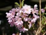 Frühlingskirsche / Zierkirsche 'Fukubana', 60-100 cm, Prunus subhirtella 'Fukubana', Containerware