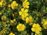 Frühlings-Fingerkraut, Potentilla neumanniana, Topfware
