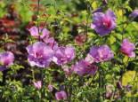 Garteneibisch 'Lavender Chiffon' ®, 40-60 cm, Hibiscus syriacus 'Lavender Chiffon' ®, Containerware