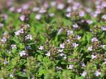 Gedrungener Thymian 'Compactus', Thymus vulgaris 'Compactus', Topfware