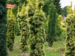 Gelbe Säuleneibe 'Fastigiata Aureomarginata', 40-60 cm, Taxus baccata 'Fastigiata Aureomarginata', Containerware