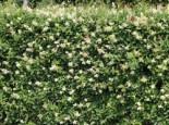 Gemeiner Liguster / Gewöhnlicher Liguster, 100-150 cm, Ligustrum vulgare, Wurzelware
