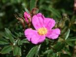 Glanzblättrige Rose, 30-40 cm, Rosa nitida, Wurzelware