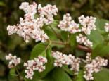 Glockenknöterich 'Southcombe White', Aconogonon campanulatum 'Southcombe White', Topfware
