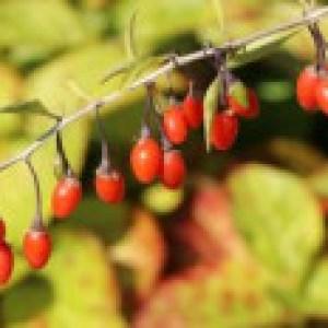 Gojibeere / Gemeiner Bocksdorn / Teufelszwirn 'Big Lifeberry ®', 60-100 cm, Lycium barbarum 'Big Lifeberry ®', Containerware